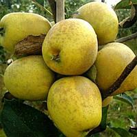 Саджанці яблуні ПИТМАСТОН пізнього строку дозрівання