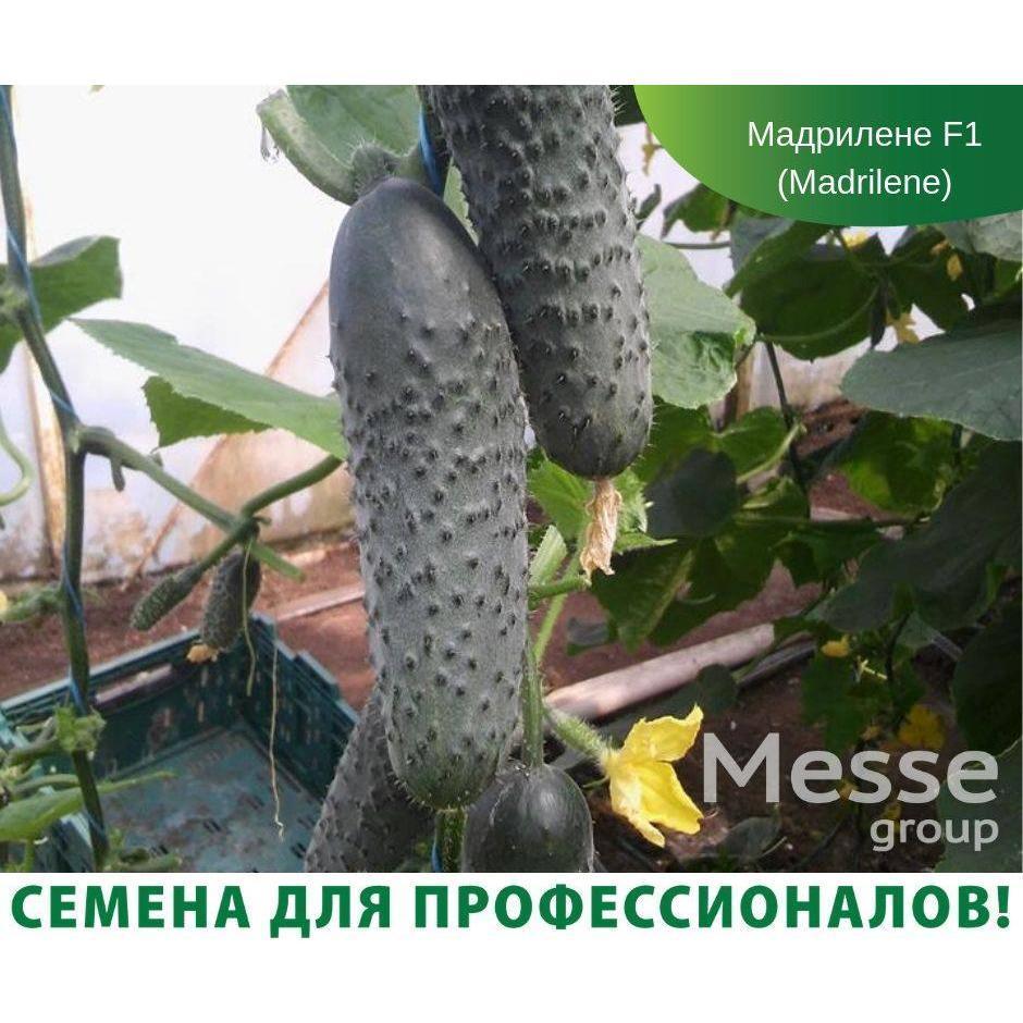 Насіння огірка Мадрілене F1 (250 нас.) Seminis
