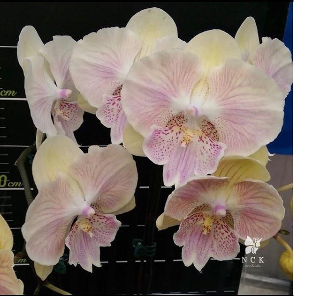 "Орхидея. Сорт Yu Pin Yellow Swan горшок 2.5"" без цветов"