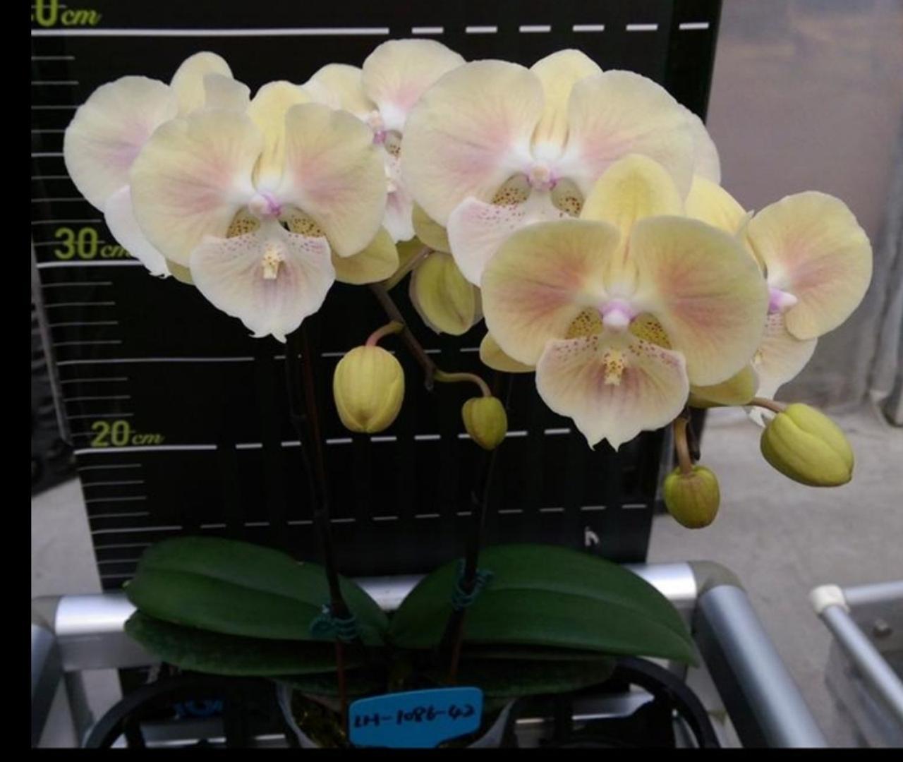 """Орхидея, горшок 2.5"""", без цветов. Сорт биглип 6149"""