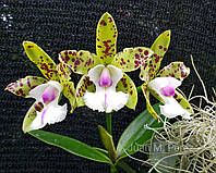 "Орхидея. Каттлея YNS Green leopard, размер 2.5"" без цветов"