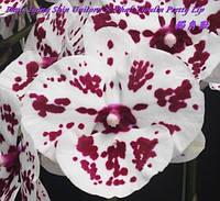 Орхидея подростокTying Shin Unicorn × Phal. Lioulin Pretty Lip , без цветов, диаметр горшка 1.7 дюйма