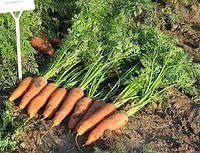 Семена моркови Канада F1 25000 шт. ( 1,6-1,8 )