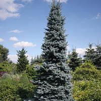 Ель колючая Олденбург (Picea pungens Oldenburg)