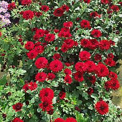 Хризантема шаровидная красная