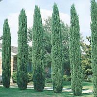 Кипарис вечнозеленый Стрикта
