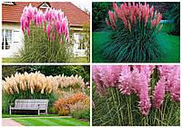 Пампасна трава (Кортадерія Селло) Кремовая и розовая