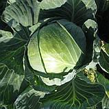 Семена капусты б/к Гигант F1  ( 2500 сем.) Clause, фото 2