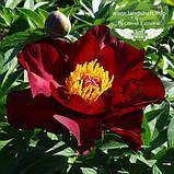 Paeonia Itoh 'Scarlet Heaven', Півонія Іто 'Скарлет Хевен',C4 - горщик 4л, фото 2
