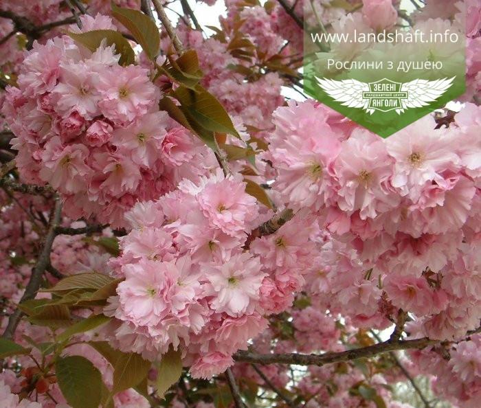 Prunus serrulata 'Kanzan-Zakura', Вишня дрібнопильчаста 'Канзан' сакура,140-160см,C18 - горщик 18л