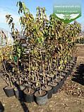 Prunus serrulata 'Kanzan-Zakura', Вишня дрібнопильчаста 'Канзан' сакура,140-160см,C18 - горщик 18л, фото 2