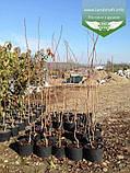 Prunus serrulata 'Kanzan-Zakura', Вишня дрібнопильчаста 'Канзан' сакура,140-160см,C18 - горщик 18л, фото 3