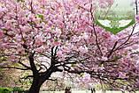 Prunus serrulata 'Kanzan-Zakura', Вишня дрібнопильчаста 'Канзан' сакура,140-160см,C18 - горщик 18л, фото 4
