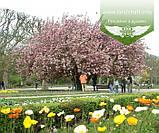 Prunus serrulata 'Kanzan-Zakura', Вишня дрібнопильчаста 'Канзан' сакура,140-160см,C18 - горщик 18л, фото 5