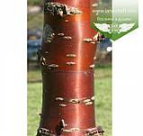 Prunus serrulata 'Kanzan-Zakura', Вишня дрібнопильчаста 'Канзан' сакура,160-180см,C18 - горщик 18л, фото 6