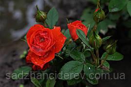 Саджанці троянд Оранж Мейландіна, (Orange Meillandina)