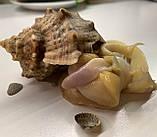 М'ясо рапана, фото 2