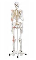 Анатомічна медична об'ємна модель кістяка людини 181 см, фото 1