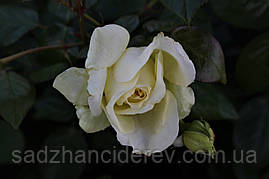 Саджанці троянд Ельф (Elfe)