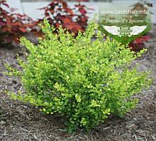 Betula nana 'Golden Treasure', Береза карликова 'Голден Трежер',C3.6 - горщик 3,6л