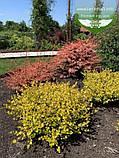 Betula nana 'Golden Treasure', Береза карликова 'Голден Трежер',C3.6 - горщик 3,6л, фото 2