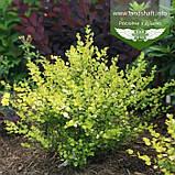 Betula nana 'Golden Treasure', Береза карликова 'Голден Трежер',C3.6 - горщик 3,6л, фото 3