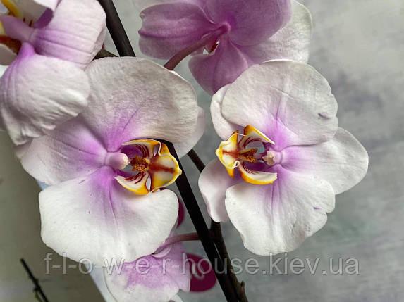 Орхидея Нежный Копенгаген, фото 2