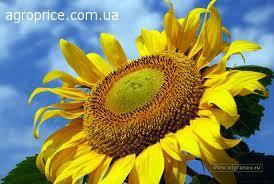 Семена подсолнечника  УКРАЇНСЬКЕ СОНЕЧКО (Економ)урожай 2014год