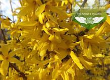 Forsythia x intermedia 'Tharandt', Форзиція середня 'Тарандт',C2 - горщик 2л