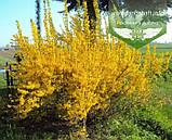 Forsythia x intermedia 'Tharandt', Форзиція середня 'Тарандт',C2 - горщик 2л, фото 2