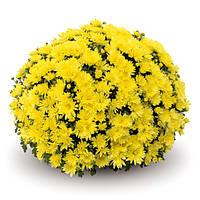 Aluga Yellow