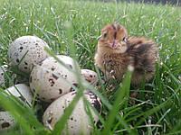 Инкубационное перепелиное яйцо