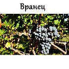 Саженцы винограда: столовые сорта, технические и кишмиш (в ассортименте), фото 2