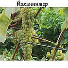 Саженцы винограда: столовые сорта, технические и кишмиш (в ассортименте), фото 3