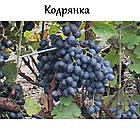 Саженцы винограда: столовые сорта, технические и кишмиш (в ассортименте), фото 4