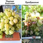 Саженцы винограда: столовые сорта, технические и кишмиш (в ассортименте), фото 5