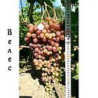 Саженцы винограда: столовые сорта, технические и кишмиш (в ассортименте), фото 7