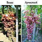 Саженцы винограда: столовые сорта, технические и кишмиш (в ассортименте), фото 6