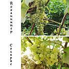 Саженцы винограда: столовые сорта, технические и кишмиш (в ассортименте), фото 10