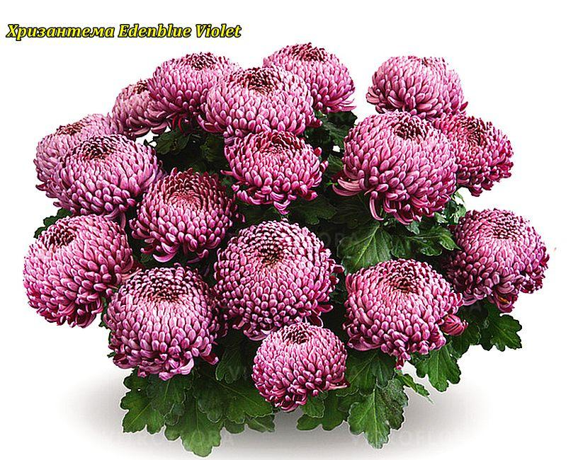 Хризантема Edenblue Violet (Эдем Блю Фиолетовый) рассада