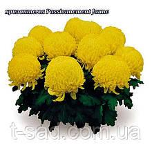 Хризантема Passionnement Yaune (Страсть Яуне) рассада