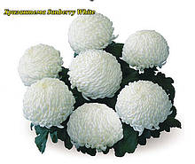 Хризантема Sunberry White (Солнечно-белый) рассада