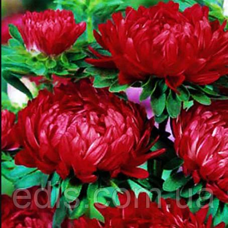 Астра пионоподобная Темно-червона 0.3 г насіння Яскрава, фото 2