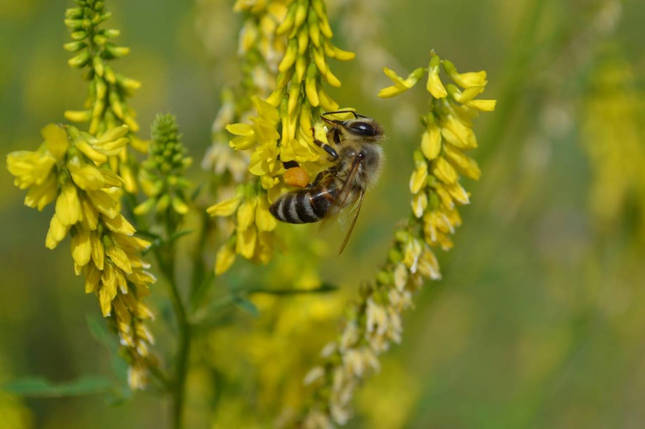 Буркун жовтий (двухлет.) (буркун - укр.), насіння, фото 2