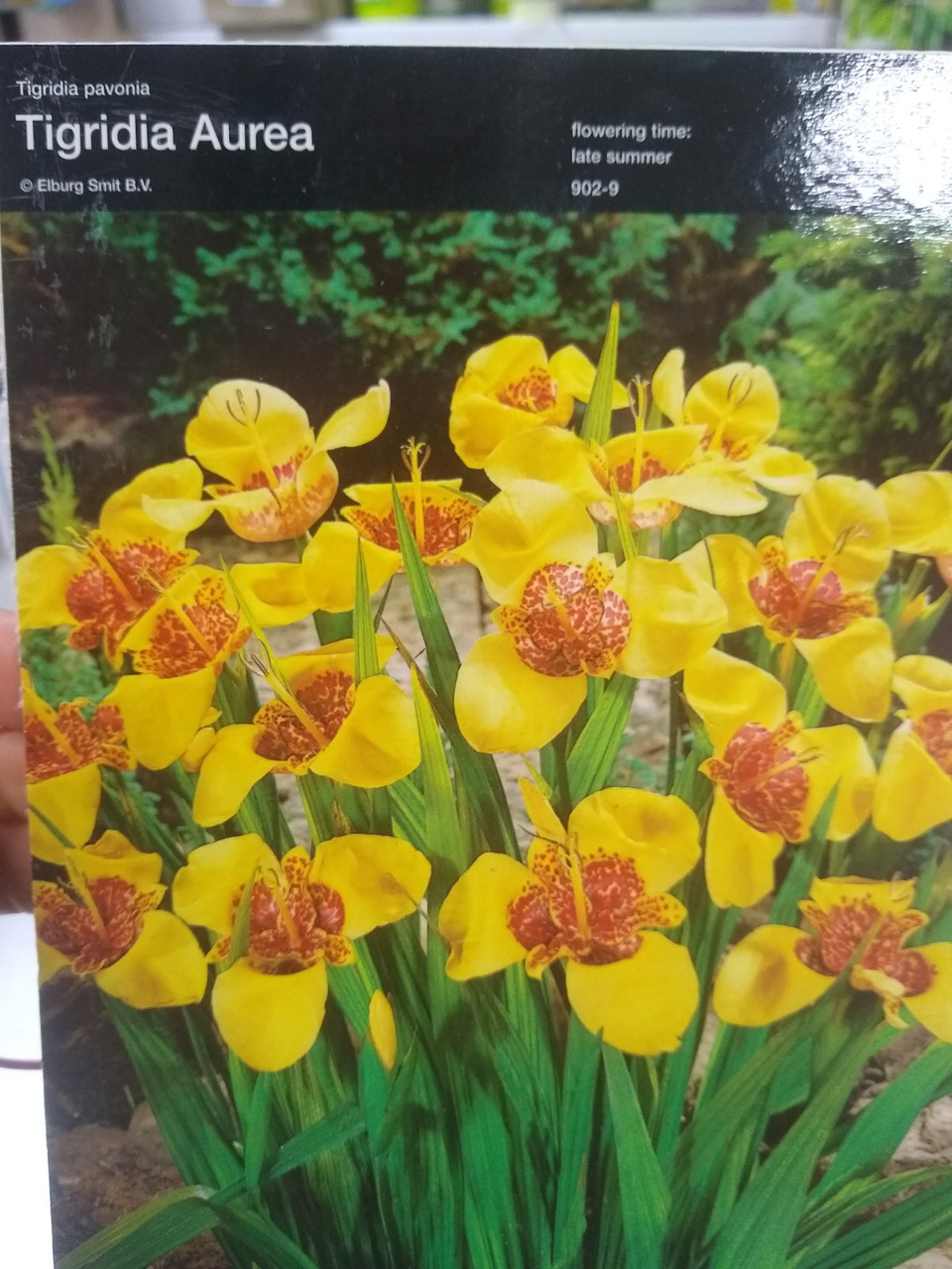 Луковица цветов многолетних Тигридии Ауреа Тigridia Aurea желтые 1 шт Junior Голландия