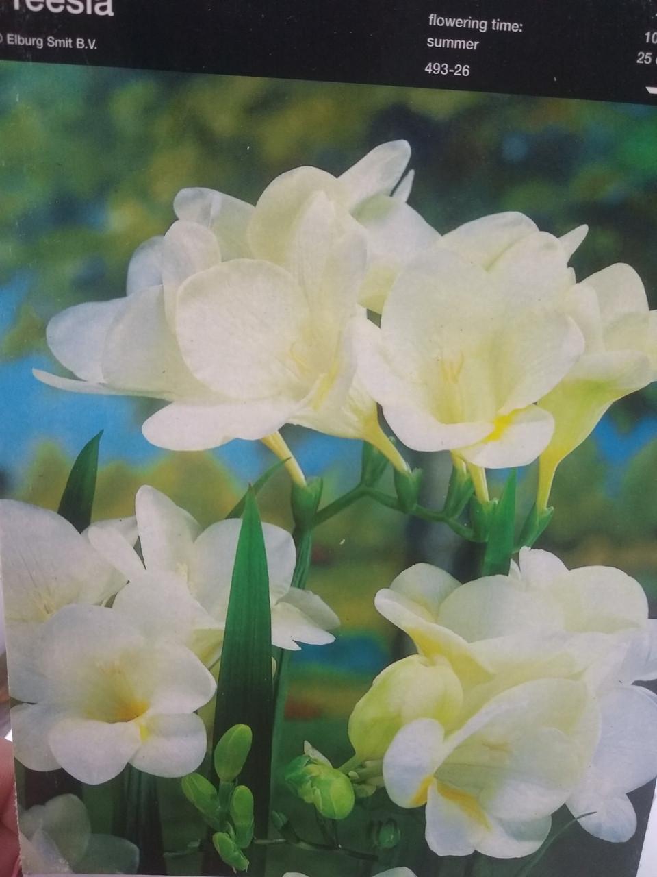 Цибулина багаторічних квітів білої Фрезії махрової Freesia 1 шт Junior Голландія