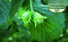 Corylus avellana 'di Tonda Giffoni', Ліщина європейська (фундук) 'Тонда ді Джіффоні',C15 - горщик 15л