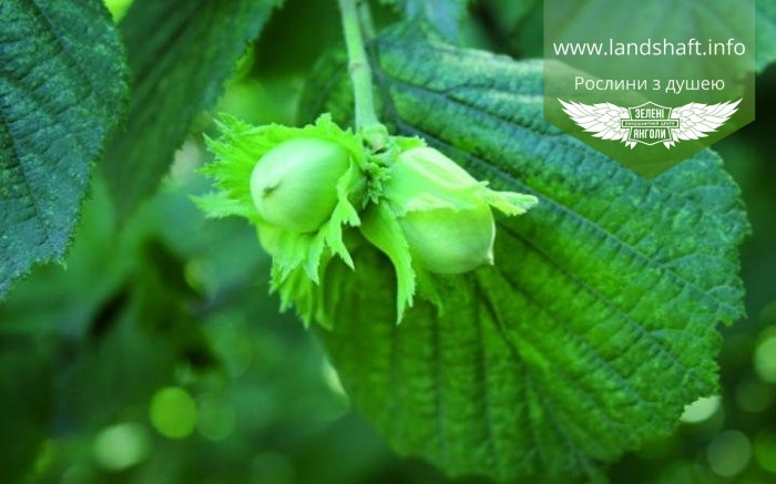 Corylus avellana 'Tonda di Giffoni', Ліщина європейська (фундук) 'Тонда ді Джіффоні',C20 - горщик 20л