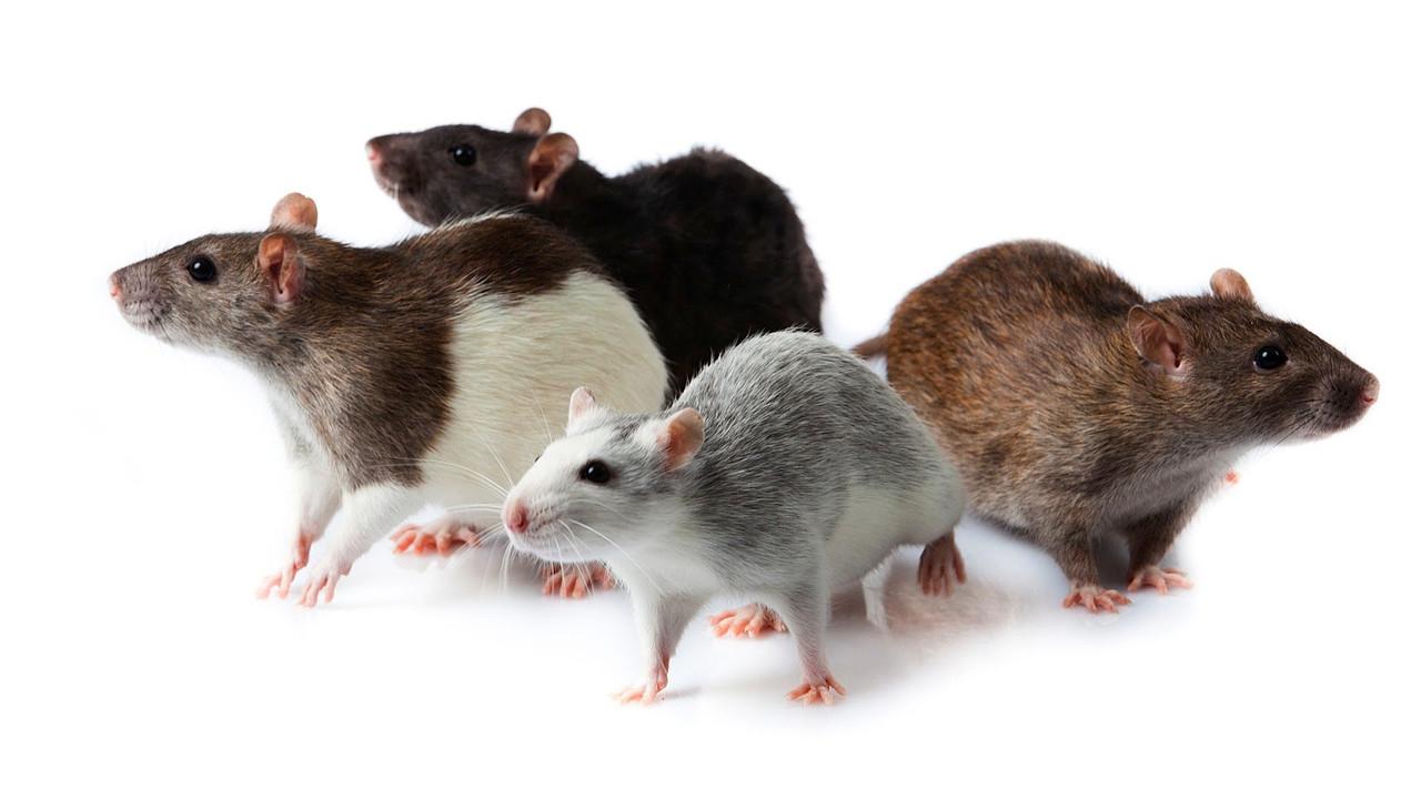 Декоративные крысы. 298200715_w640_h640_maxresdefault