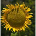 Семена подсолнечника Арден Евролайтинг, фото 3